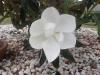 creamy white magnolia, Florida