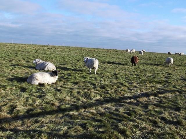 sheep on the Gallops near Kingsclere, Hampshire.