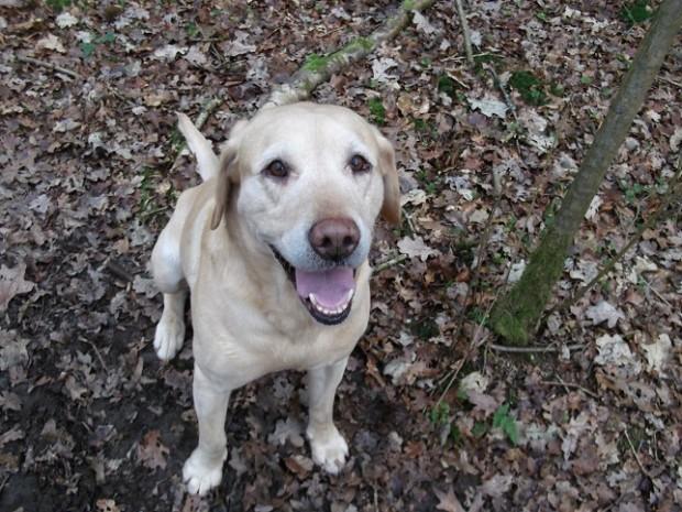 Indi the Labrador is still top dog!