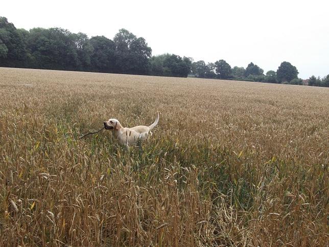 Jester the Labrador loves fetching sticks....