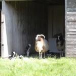 lambs 2012 019