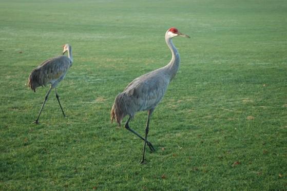 The beautiful, majestic sandhill cranes.