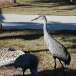 sanhill cranes 006 - Copy